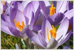 Frühlingserwachen (crop) (Roadster2009) Tags: spring krokus omd frühling markii krokusse