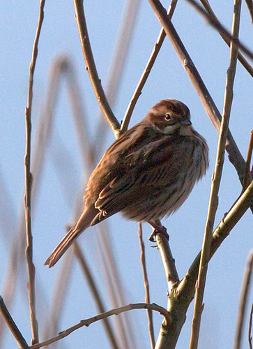 Reed Bunting ( Female )