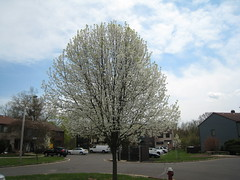 A beautiful day in the neighborhood (Dotsy McCurly) Tags: sky tree nature beautiful pretty neighborhood stinky bradfordpear