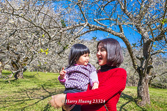 Harry_23324,,,,,,,,,,,,,,,,,,,,,,,Plum,Plum Tree,Tree,Fruit,Farm (HarryTaiwan) Tags: tree fruit nikon farm plum taiwan     plumtree  d800                       harryhuang  hgf78354ms35hinetnet adobergb