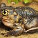 Eastern Spadefoot, Male