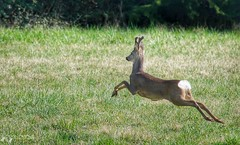 Jumping roe deer (DarkHorse41) Tags: nature wildlife natura roe roedeer fvg friuli capreolus capriolo cervignano d5100 jumpingroedeer