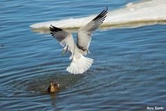 duck landing (Amy ::) Tags: river duck seagull hudsonriver newburghwaterfront
