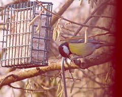 Great Tit! ('cosmicgirl1960') Tags: park wood nature birds garden spring feeding feathers feeders yabbadabbadoo