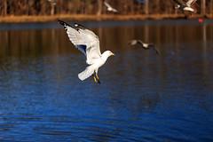 Seagulls (cj13822) Tags: park sea lake bird river fly pond unitedstates seagull gull maryland columbia