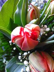 Tulpe (assy_47) Tags: flower tulip blume tulpe