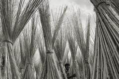 I dream of Paradise (Catch the dream) Tags: smile paradise farmer bangladesh jute chuadanga jutesticks