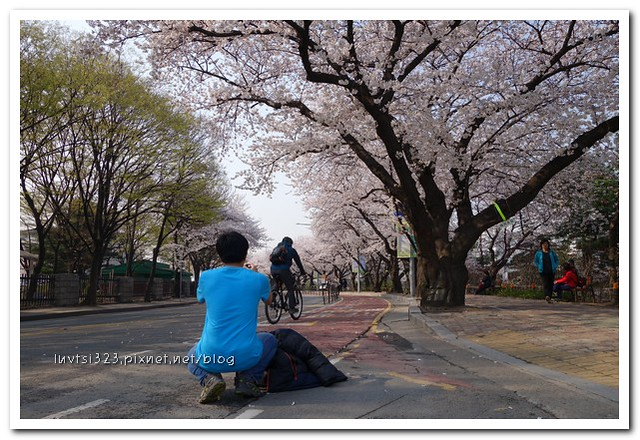 여의도벚꽃15