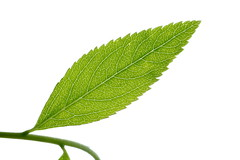 Leaf (vagrant bugler) Tags: plant color tree green nature leaves closeup garden leaf spring branch natural bright outdoor background branches fresh organic freshness