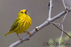 The Epitome Of Spring (Yellow Warbler) (Mitch Vanbeekum Photography) Tags: yellow newjersey nj american warbler yellowwarbler morristownship kitchellpond canonef500mmf4lisiiusm americanyellowwarbler setophagapetechia canoneos1dx canon14teleconvertermkiii mitchvanbeekum
