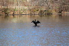 Finally Spring (LOVE PICTURES!) Tags: lake birds spring nj cormorant milton rahway