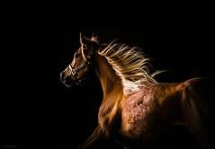 Dandy (Jen MacNeill) Tags: horse hair arab arabian dandy mane flaxen egyptianarabian littledoglaughedstories