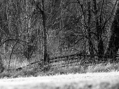 into the woods (3) (Ange 29) Tags: trees bw canada forest fence king olympus f45 300mm om zuiko township omd em1