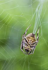 Spinning a web (aussiegall) Tags: bug spider web arachnid spiderweb tangled orbweaver