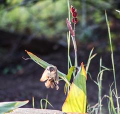 _MG_9007 (rojam1000) Tags: superb fairy variegated wren