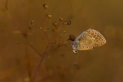 DSCF9622 (faki_) Tags: fuji fujifilm xe1 fujinonxc50230mmf4567ois 50230 rovar insect lepke butterfly