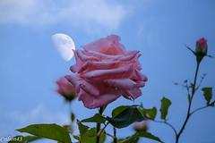 Quand une rose touche la lune... (Crilion43) Tags: rose france vreaux divers ciel jardin centre nuages paysage canon fleurs cher arbres blanche brouillard herbe jaune nature rouge rflex saumon