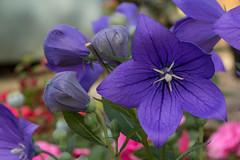 Platycodon grandiflorus (Graham Dash) Tags: platycodongrandiflorus balloonflower flowers gardenflowers