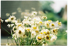 Still life on film (Lkimngnnnnnnn) Tags: film filmisnotdead flowers filmphotography shootfilm stilllife shadow nikkormat kodakgold200 light