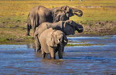 Drinking Elephants, Chobe National Park, Botswana (Poulomee Basu) Tags: africa wild elephant beauty outdoors nikon wildlife conservation adventure safari botswana chobe tranquil wildlifephotographer photooftheday chobenationalpark wildlifephotography wildplanet nikond90 elephantconservation nikond90users safarilovers