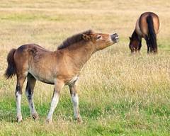 Wild Ponies (v1) July 2016 (Doyleecart Photography) Tags: porlock southwest ponies summer grass motherandchild caption greatoutdoors doyleecart canon5dmkiii