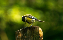 great tit, koolmees (a.limbeek) Tags: