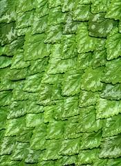 57408.01 Lamium galeobdolon (horticultural art) Tags: leaves pattern scales lamium lamiumgaleobdolon horticulturalart