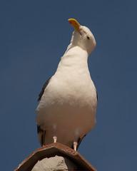 Western Gull (Larus occidentalis) (ekroc101) Tags: california birds sandiego westerngull shelterisland larusoccidentalis