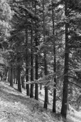 Ponderosa Pine Slope BW (Don Thoreby) Tags: forest canyon cascades washingtonstate slopes cascademountains cascaderange aspentrees ponderosapine cleelumriver suncadiaresort cleelumrivervalley