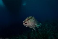 Not so Grumpy Old Man (jcl8888) Tags: grouper freddy old cayman scuba diving nikon d7200 tokina 1017mm nature travel liveaboard aggressor fleet caribbean nauticam
