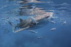 Whale Shark (merbert2012) Tags: whaleshark oslob philippines nature fish ocean scuba wildlife conservation nikond800 wideangle fisheye aquaticahousing travel reisen reflection walhai outdoor nikon water blue