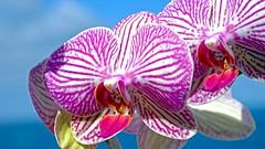 Twin orchises (claude.lacourarie) Tags: flowers macro fleurs fuji bokeh twin fiori orchides xt1 orchises xf60mm