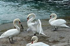 swans (welenna) Tags: swan swans schwan schwne vgel bird weiss