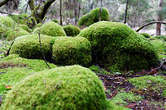 20160712-02-Mossy boulders in Wellington Park (Roger T Wong) Tags: 2016 austraia cathedralrock rogertwong sel2470z sony2470 sonya7ii sonyalpha7ii sonyfe2470mmf4zaosscarlzeissvariotessart sonyilce7m2 tasmania wellingtonpark bushwalk green hike moss outdoors rocks tramp trek walk