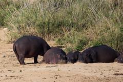Hippopotame (pigosselin) Tags: afrique animaux krugerpark