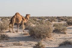 Dromedary (Camelus dromedarius) (Chrif Benabid) Tags: dsert sahara travel camel dune sans landscape outdoors nature dry sky heat water tourism