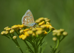 DRL_2794 (romain-dreux-photo) Tags: polyommatusicarus commonblue argusbleu azurcommun butterfly cana qubec