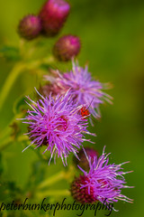 Thistle & Soldier Beetle. (PJB32) Tags: thistle commonsoldierbeetle macro nature wildflowers sigma105mm