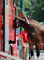 Hmm... I wonder what's in here (susanmbarlow) Tags: horse delaware equine draft equus clydesdale delawarepark equidae budweiserclydesdale equusferuscaballus followthehitch