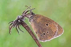 Aphantopus hyperantus (Prajzner) Tags: aphantopus hyperantus aphantopushyperantus ringlet nature nikond7100 naturallight nikon sigma105mmmacro sigma subcarpathia poland prajzner insect insecta butterfly bokeh lepidoptera