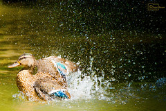 Splish Splash (Undertable) Tags: oliverbauer undertable assamstadt tierfotografie tier tiere ente ententeich sommer teich wasser wasserspritzer spritzer planschen pltschern plitsch platsch tropfen trpchen natur nature animal anomals pond water drop drops waterdrop waterdrops splish splash duck