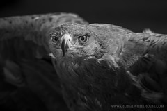 Tawny Eagle - B&W (Old-Man-George) Tags: animal bird georgewheelhouse hawkconservancy raptor tawnyeagle beak captive eagle feathers hampshire portrait wwwgeorgewheelhousecom d880254