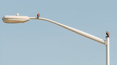 PoleKestrels (jmishefske) Tags: d800e kestrel wisconsin nikon southmilwaukee lakefront street bird perched july weenergies 2016 lamp american lakemichigan