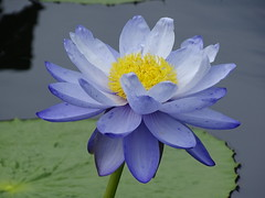 Pennsylvania '16 (faun070) Tags: longwoodgardens pennsylvania waterlily