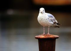 Herring Gull (10) (grahamh1651) Tags: newlyn newlynharbour tolcarne birds seabirds gulls swans waders shorebirds