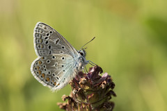 Common Blue Butterfly (Emma Pollock - Photos) Tags: butterfly blue common bodenham lake meadows fields summer insects bugs