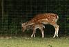 Daine et son petit (Carahiah) Tags: parcanimalierdesaintecroix saintecroix rhodes nature parc animal daine bébé comparaison motherlymoment cute tendresse