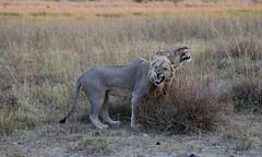 Lion Scent V (www.mattprior.co.uk) Tags: adventure adventurer journey explore experience expedition safari africa southafrica botswana zimbabwe zambia overland nature animals lion crocodile zebra buffalo camp sleep elephant giraffe leopard sunrise sunset