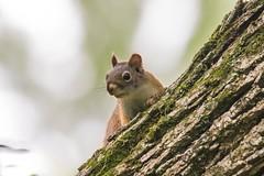 7K8A3818 (rpealit) Tags: scenery wildlife nature east hatchery alumni field hackettstown red squirrel