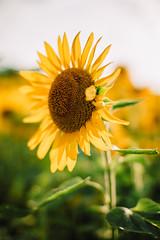 Fields of Gold (ohgoodgracious) Tags: landscape sunflower sunflowers yellow andersenfarmssunflowermaze canon teamcanon 50mm ef50mmf12 dreamy lookslikefilm triberedleaf elmtair sussexcounty newjersey nj flower flowers floral flora nature naturephotography naturephotographers